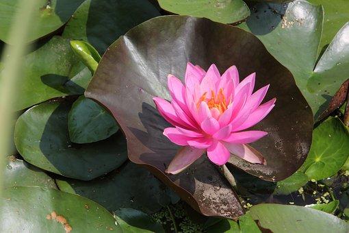 Lotus, Flowers, Summer, Pond Plants, Lake