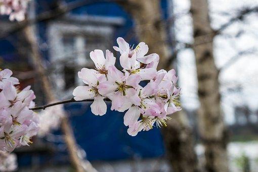 Japan, Cherry Blossom, Japanese Cherry Blossom, Blossom