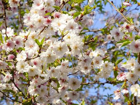 Sakura, Cherry Blossom, Japan, Kyoto, White, Flower