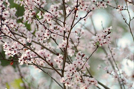 Cherry, Blossom, Spring, Japanese, Tree, Petal