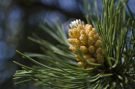 Pine, Conifer, Blossom, Bloom, Flowers