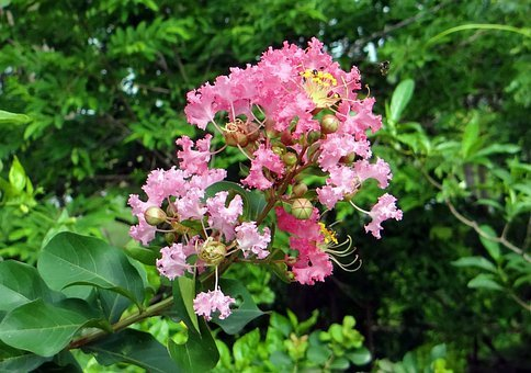 Crape Myrtle, Flower, Pink, Saoni, Lagerstroemia Indica
