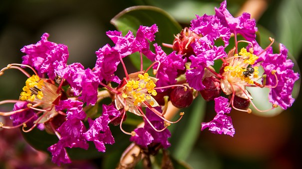 Crepe Myrtle, Flowers, Blooms, Pink, Yellow, Bright