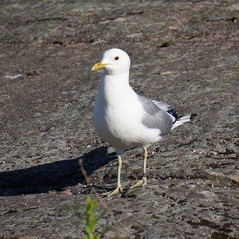 Bird, Ringed, Seagull, Mew