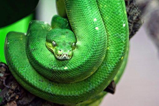 Snake, Toxic, Green, Tree Snake, Reptile, Dangerous