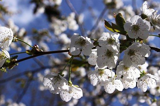 Cherry Blossoms, White, Flower, Tree, Spring, Nature