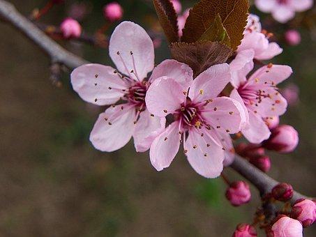 Flower, Pink, Pink Flower, Vernal, Sakura
