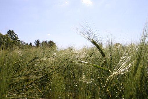 Blue Sky, Winter Barley, Barley, Agriculture, Green