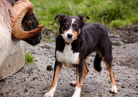 Ram, Sheepdog, Standoff, Confrontation, Animal, Rural
