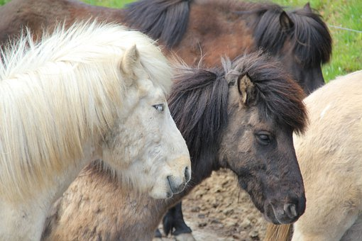 Horses, Horse, Ride, Animal, Iceland Horse, Equestrian