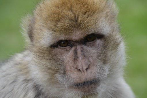 Old World Monkey, Monkey, Zoo, Animal, Animal World