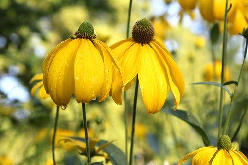 Sun Brews, Helenium, Summer, Flower, Blossom, Bloom