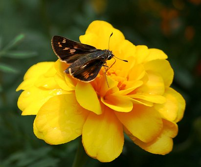 Butterfly, Small Brown, Insect, Peck's Skipper