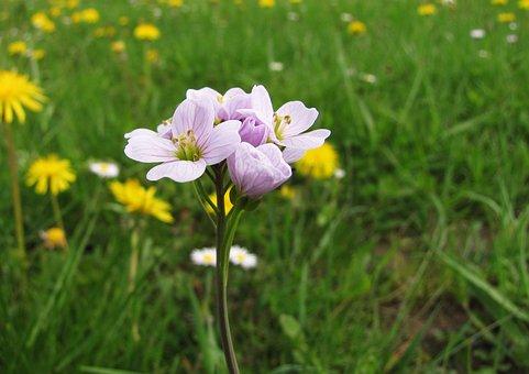 Cuckoo Flower, Card Amines Pratensis, Tender, Spring