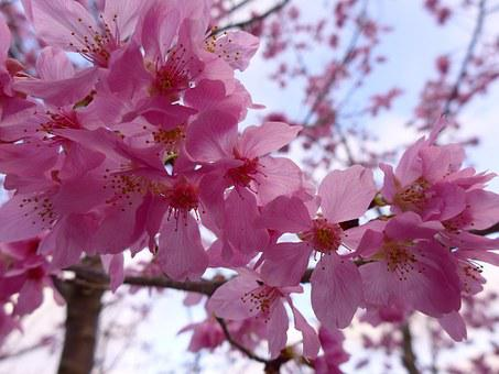 Cherry Blossoms, Great, The Year February