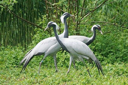 Crane, White Neck Crane, Bird, China, Mongolia