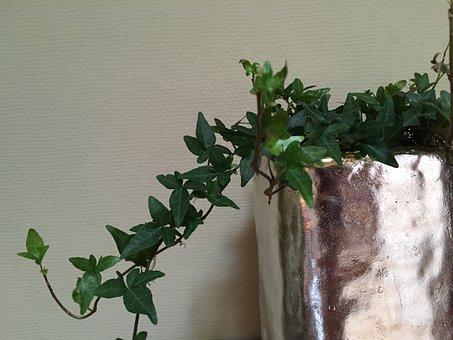 Climber Plant, Ivy, Efeuranke