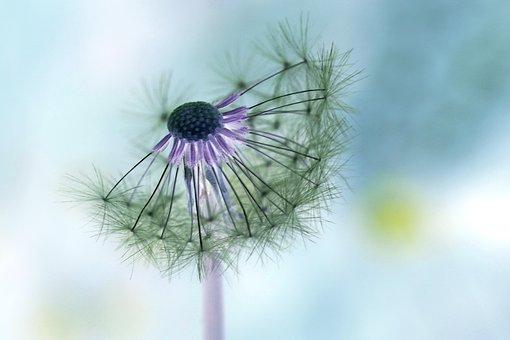 Dandelion, False Color, Plant, Pointed Flower, Seeds
