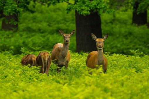 Deer, Forest, Priroda, Fauna, Animal
