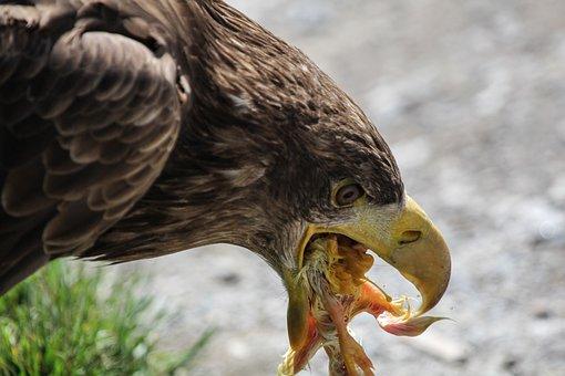Adler, Food, Eat, Peck, Feeding, Bird, Animals, Birds