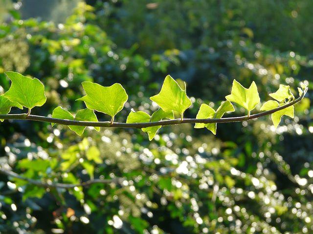 Ranke, Ivy, Efeuranke, Ivy Leaves, Leaves, Common Ivy