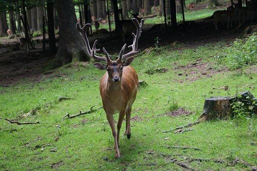 Hirsch, Antler, Forest, Confrontation
