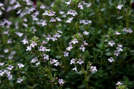 Thyme, Garden Plant