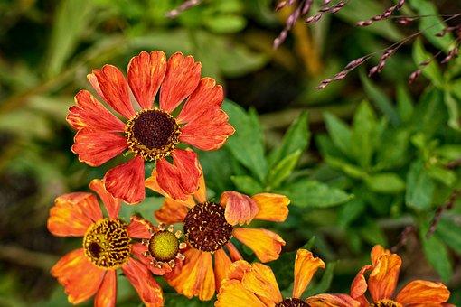 Sun Brews, Helenium, Composites, Flower Garden, Blossom