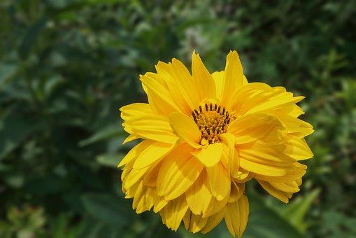 Sun Brews, Flower, Helenium Hoopesii, Yellow, Blossom