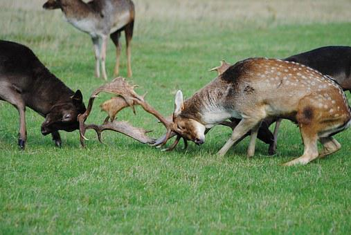 Deers, Animals, Male, Horns, Fight, Rude, Fallow, Rut