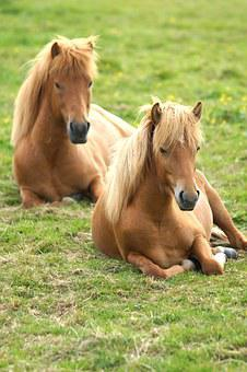 Iceland, Ponies, Horses, Rest, Paddock