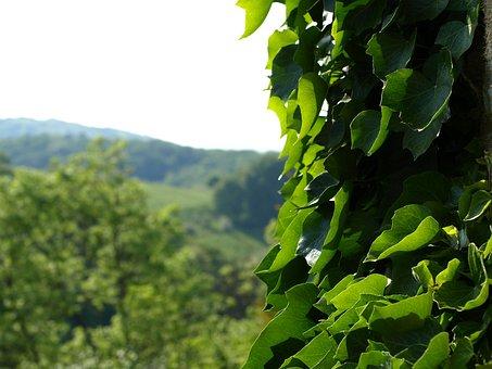 Ivy, Efeuranke, Climber, Green, Hedera, Entwine