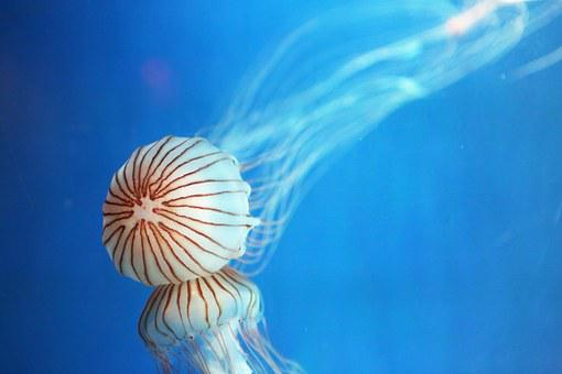 Jellyfish, Republic Of Korea, Aquarium, Jeju Island