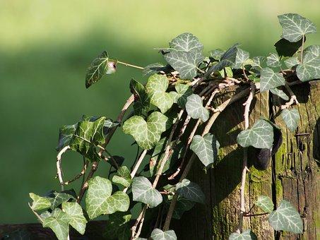 Ivy, Plant, Climber, Leaf, Nature, Leaves, Garden Fence
