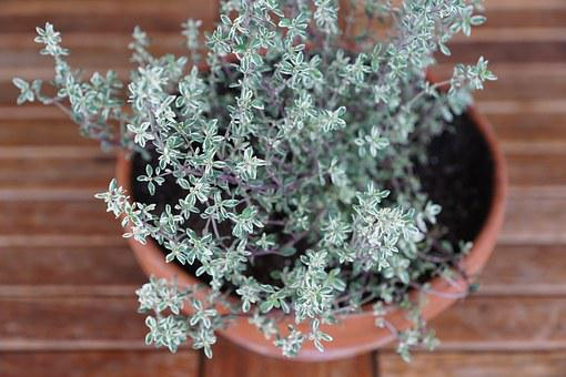 Thyme, Herbs, Spice, Plant