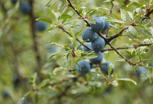 Blackthorn, Schlehe, Fruit, Schlehendorn, Heckendorn