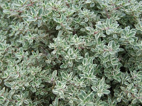 Thyme, Plant, Herb, Spices