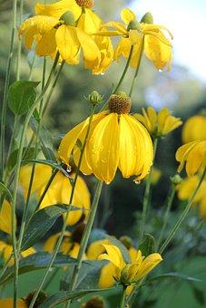 Sun Brews, Helenium, Summer, Blossom, Bloom, Flower