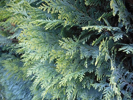 Thuja, Thuya Hedge, Bush, Needles, Green, Plant, Garden