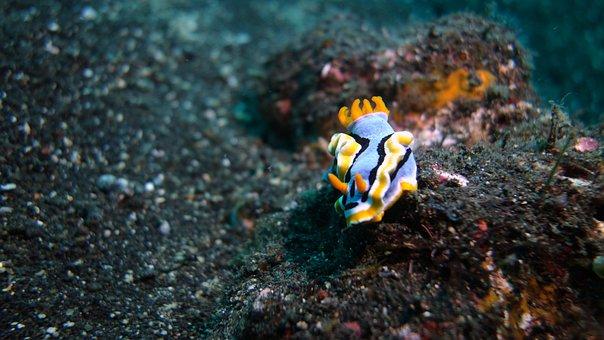 Sea Slugs, Turan Ben, Bali, Underwater
