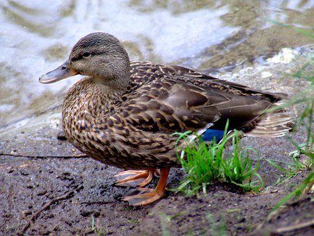 Duck, Female, Nature, Water, Bird, Wildlife, Waterfowl