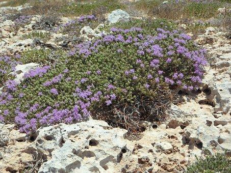 Wild Thyme, Thyme, Wild Herbs, Bloom, Herbs, Spice