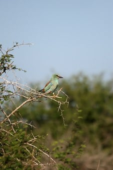 Green-breasted Roller, Bird, Wildlife, Perched