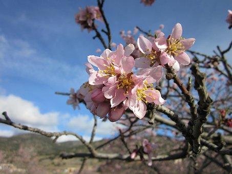 Flower, Almond Tree, Almond Flower, Flowering