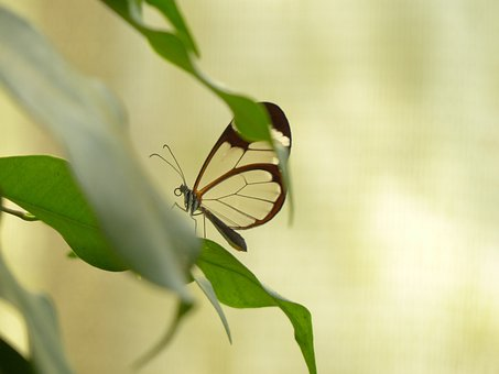Butterfly, Greta Oto, Insect, Animal, Butterfly House