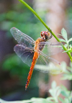 Dragonfly, Insect, Anisoptera, Animal, Wildlife