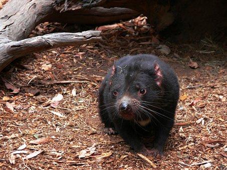 Tasmanian Devil, Carnivorous, Marsupial, Wildlife