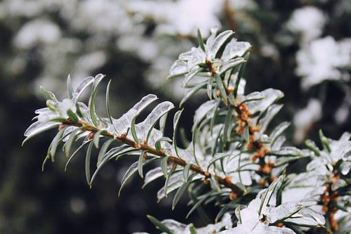 Conifer, Needles, Tree, Branch, Nature, Forest, Green