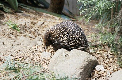 Echidna, Echidnas, Australia, Animal, Hedgehog, Animals