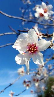 Almond Tree In Blossom, February In Mallorca